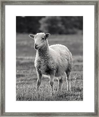 Sheep Art  Framed Print by Lucid Mood
