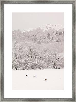Sheep Framed Print by Ashley Cooper