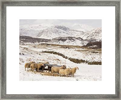 Sheep Brave The Extreme Weather Framed Print by Ashley Cooper