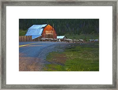 Sheep Crossing Framed Print by Theresa Tahara