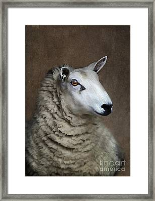 Sheep Framed Print by Darren Fisher