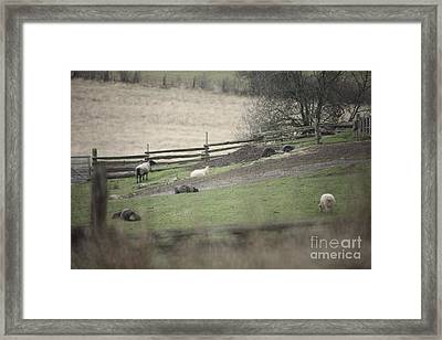 Sheep Life Framed Print by Graham Foulkes