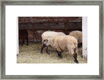 Sheep - Mt Vernon - 01131 Framed Print by DC Photographer