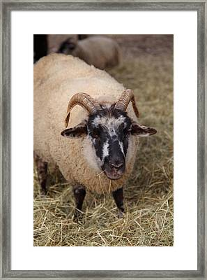 Sheep - Mt Vernon - 01133 Framed Print by DC Photographer