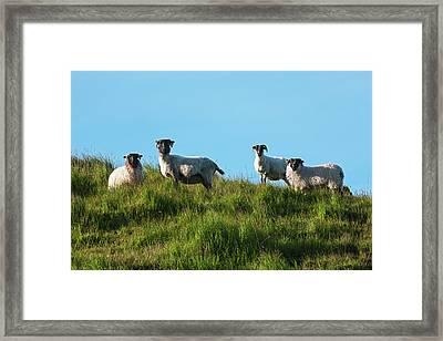 Sheep On Dingle Peninsula  County Framed Print by Carl Bruemmer