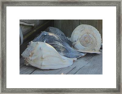 Shells Of Portsmouth Island Framed Print by Cathy Lindsey