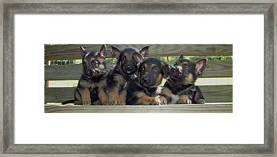 Shepherd Pups 2 Framed Print by Aimee L Maher Photography and Art Visit ALMGallerydotcom