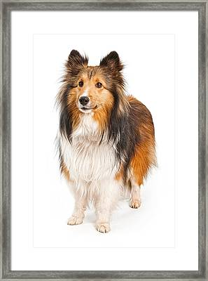 Shetland Sheepdog Dog Isolated On White Framed Print by Susan  Schmitz