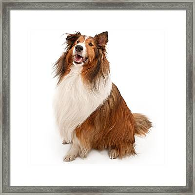 Shetland Sheepdog Isolated On White Framed Print by Susan  Schmitz