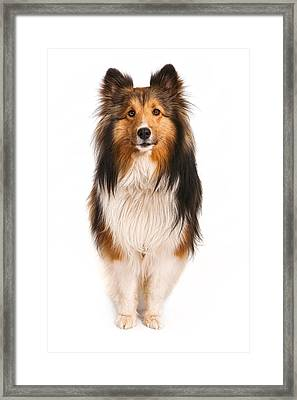 Shetland Sheepdog Looking At Camera Framed Print by Susan  Schmitz