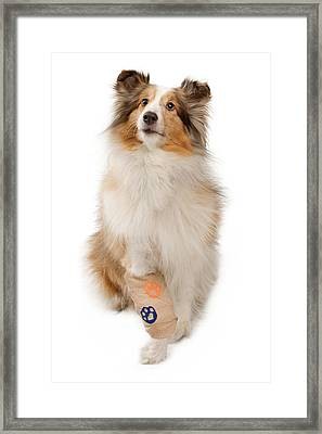 Shetland Sheepdog With Injured Leg Framed Print by Susan  Schmitz