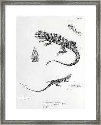 Shingled Iguana Framed Print by English School