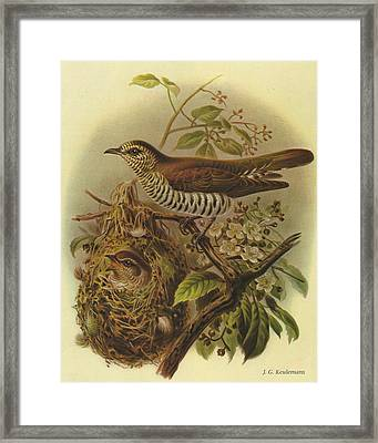 Shining Cuckoo Framed Print by J G Keulemans