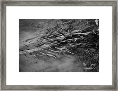 Shoal Of Silver Mullet Fish Swimming In The Shallows Islamorada Florida Keys Usa Framed Print by Joe Fox