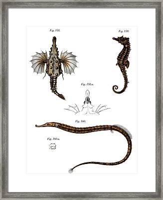 Short Dragonfish Framed Print by German School