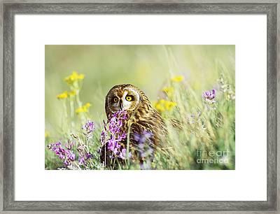 Short-eared Owl Framed Print by Thomas and Pat Leeson