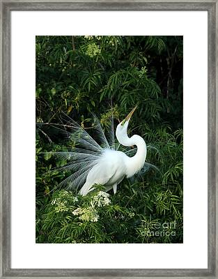 Showy Great White Egret Framed Print by Sabrina L Ryan