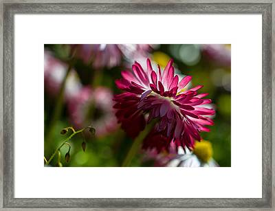 Shy Mum - Chrysanthemum Framed Print by Jordan Blackstone