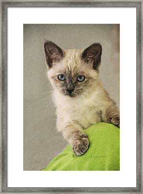 Siamese Kitten Framed Print by Kenny Francis