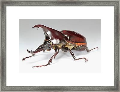 Siamese Rhinoceros Beetle Framed Print by Tomasz Litwin
