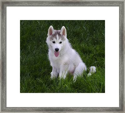 Siberian Huskie Pup Framed Print by Bill Cannon