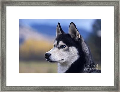 Siberian Husky Dog Framed Print by Rolf Kopfle