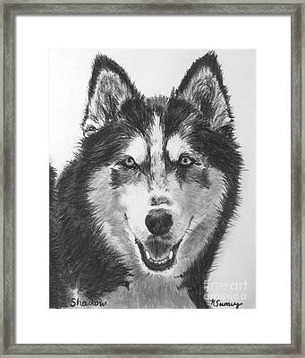 Siberian Husky Drawing Framed Print by Kate Sumners