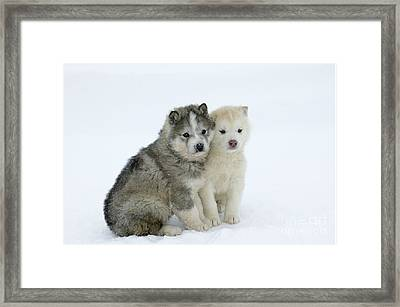 Siberian Husky Puppies Framed Print by M. Watson
