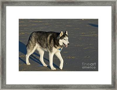 Siberian Husky Walking On Beach Framed Print by William H. Mullins