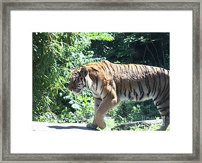 Siberian Tiger On The Prowl Framed Print by John Telfer