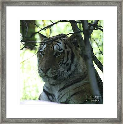 Siberian Tiger Profile Framed Print by John Telfer