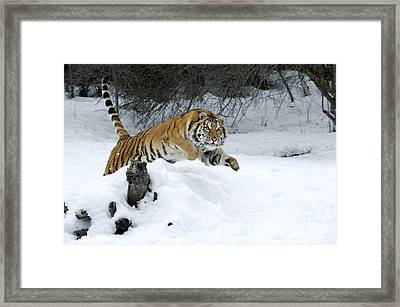 Siberian Tiger Framed Print by Sandra Bronstein