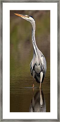 Side Profile Of A Grey Heron Ardea Framed Print by Panoramic Images