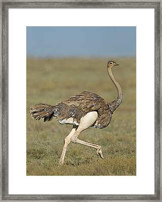 Side Profile Of An Ostrich Running Framed Print by Panoramic Images