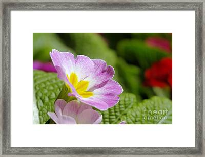 Side View Of A Spring Pansy Framed Print by Jeff Swan