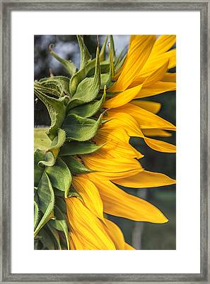 Side View Sunflower Framed Print by Georgia Fowler