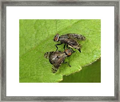 Signal Flies Mating Framed Print by Nigel Downer