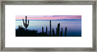 Silhouette Of Pitaya And Cardon Cactus Framed Print by Panoramic Images
