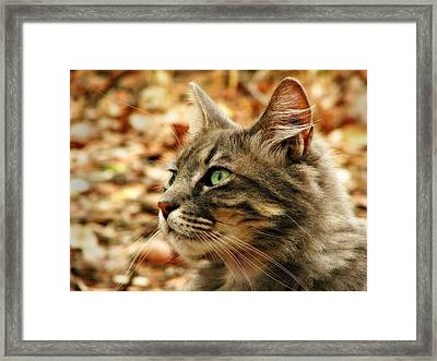 Silver Grey Tabby Cat Framed Print by Michelle Wrighton