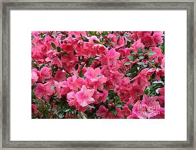 Simply Pink Azaleas Framed Print by Carol Groenen