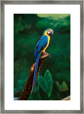 Singapore Macaw At Jurong Bird Park  Framed Print by Anonymous