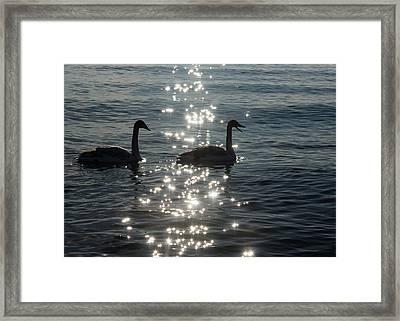 Singing Trumpeter Swans - Lake Ontario Toronto Framed Print by Georgia Mizuleva