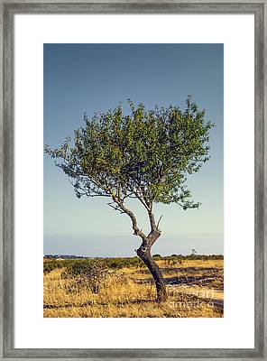 Single Olive Tree Framed Print by Carlos Caetano