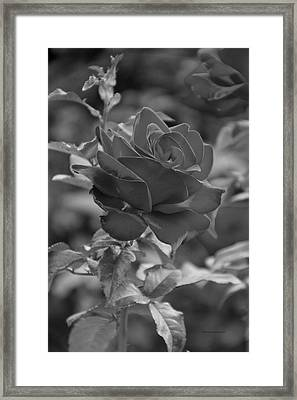 Single Red Rose Bw Framed Print by Thomas Woolworth