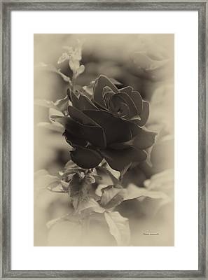 Single Red Rose Heirloom Framed Print by Thomas Woolworth
