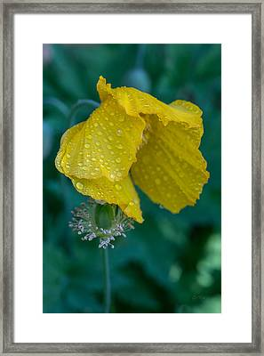 Single Yellow Poppy Framed Print by Eti Reid