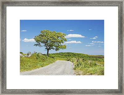 Sinlge Tree And Dirt Road  In Spring Blueberry Field Maine Framed Print by Keith Webber Jr