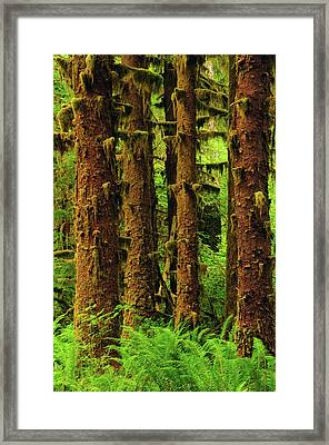 Sitka Spruce And Sword Ferns, Hoh Rain Framed Print by Michel Hersen