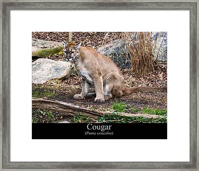 sitting Cougar Framed Print by Chris Flees