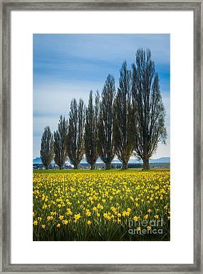 Skagit Trees Framed Print by Inge Johnsson